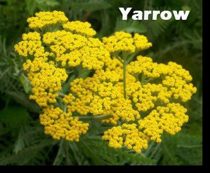 Yarrow is a common weed native to the Northern hemisphere and grows freely